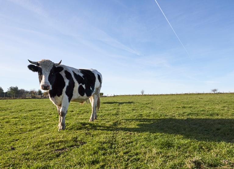 Krowa nałące